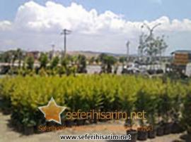 Melisa Çiçekçilik Çiçek Meyva Fidanı Toptan Perakende Satış
